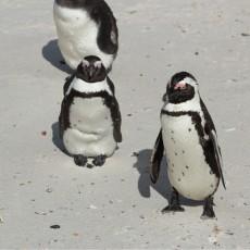 Pinguïns, bavianen, Cape Point en Kaap de Goede Hoop