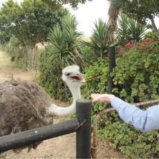 Struisvogels en Kasteel de Goede Hoop